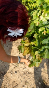 Checking out grapes at a vineyard outside of Barcelona, Spain