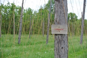 Centennial Hops being grown at Kent Falls farmhouse Camps Road Farm